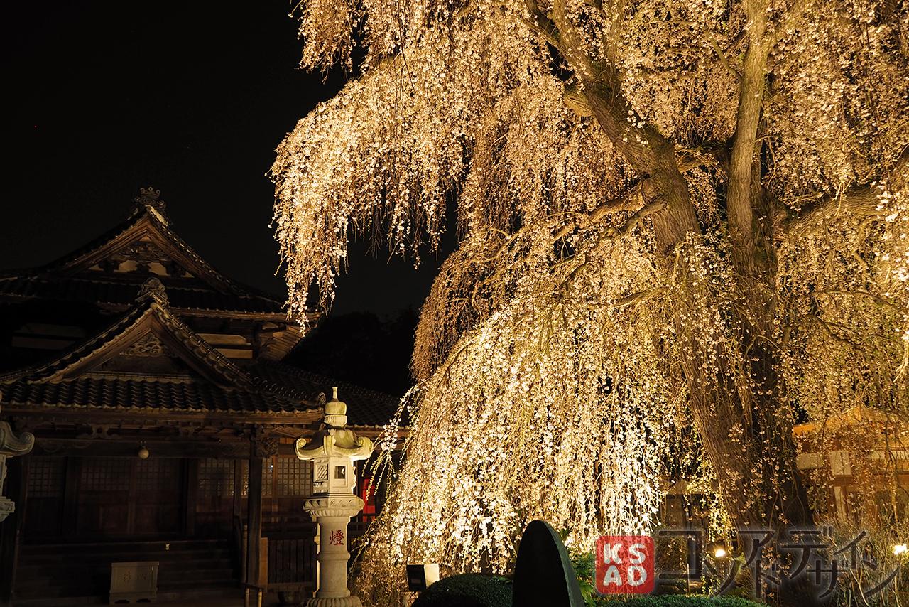 お寺と枝垂桜